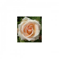 Rose Musquée, 25 ml